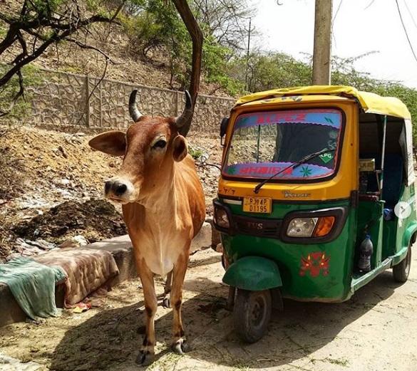 корова зебу в индии священная
